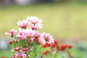 ピンク色のお花
