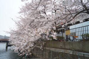 川沿いに咲く桜