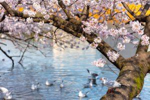 川沿いの桜と小鳥