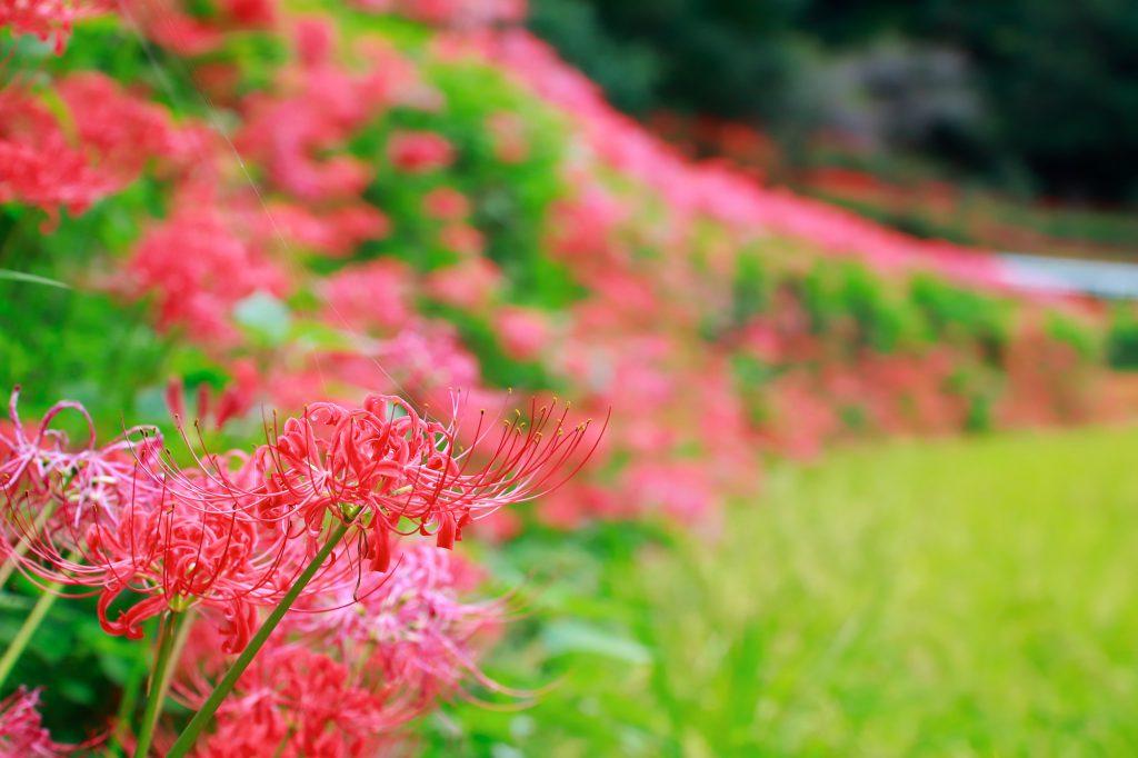 彼岸花が咲いている
