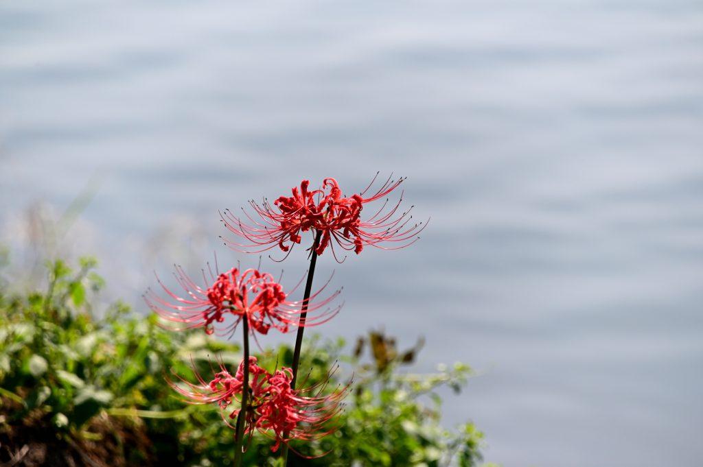 水辺に咲く彼岸花