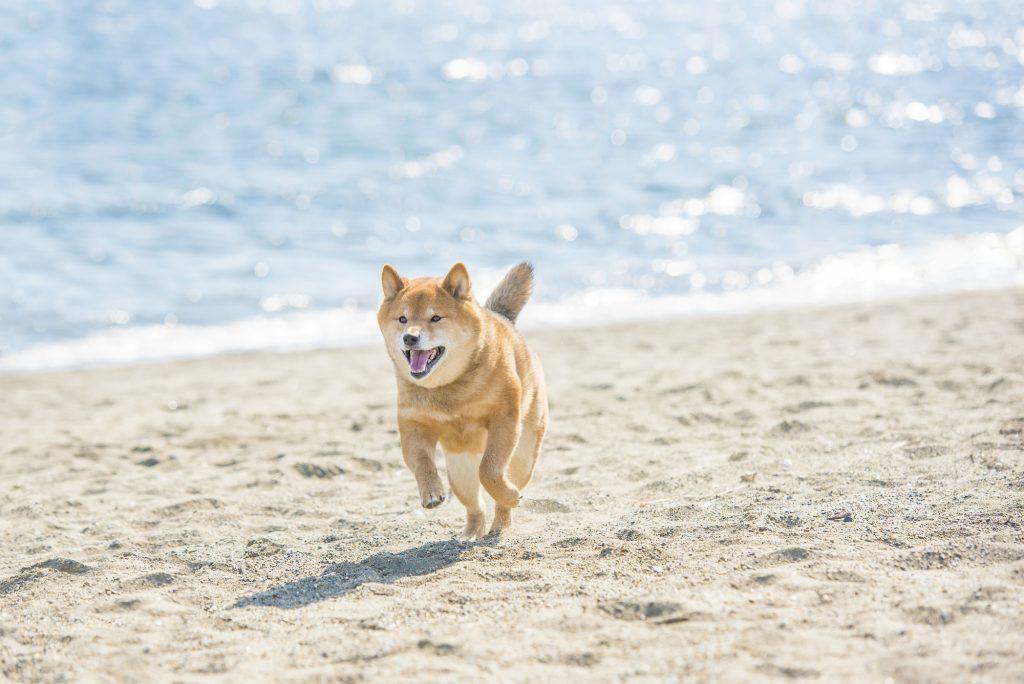 砂浜で走る犬