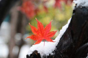 紅葉の葉っぱが雪に埋もれる